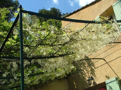 Glycine in flower at spring time on thev terrace of the villa La Bergerie at Moulin de la Roque, Noves